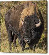 Don't Mess With This Bison Canvas Print