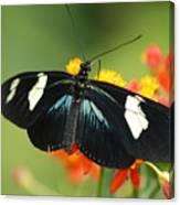 Doris Butterfly Canvas Print
