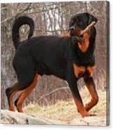 Rottie With A Tail And Stick Canvas Print
