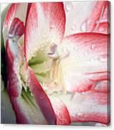 Double Amaryllis Canvas Print