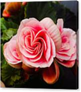 Double Begonia Canvas Print