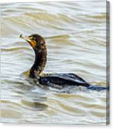 Double-breasted Cormorant Canvas Print