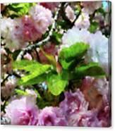 Double Cherry Blossoms Canvas Print