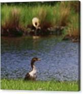 Double-crested Cormorant 2q Canvas Print