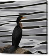 Double-crested Cormorant 20121101_128 Canvas Print