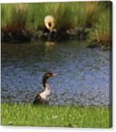 Double-crested Cormorant 3 Canvas Print