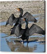 Double Crested Cormorant Pair Canvas Print