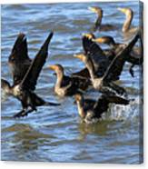 Double Crested Cormorants Canvas Print
