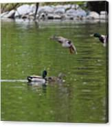 Double Duck Landing Canvas Print