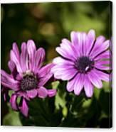 Double Purple African Daisy Canvas Print