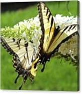 Double The Pleasure - Eastern Tiger Swallowtails Canvas Print