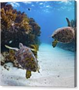 Double Turtles Canvas Print