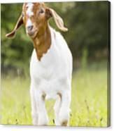 Dougie The Goat Canvas Print