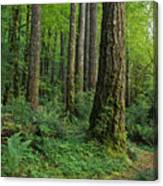 Douglas-fir Canvas Print