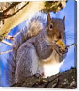 Douglas Squirrel Eating Canvas Print