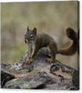 Douglas' Squirrel On The Rocks Canvas Print