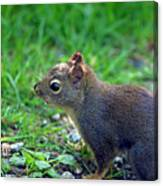 Douglas Squirrel  Canvas Print