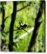 Dove In The Everglades  Canvas Print