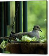 Dove Nesting, Balcony Garden, Hunter Hill, Hagerstown, Maryland, Canvas Print