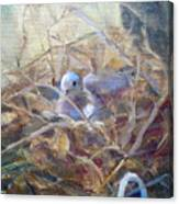 Dove Nesting Canvas Print
