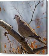 Dove On A Branch Canvas Print