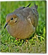 Dove With Hdr Canvas Print