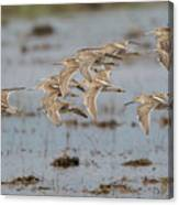 Dowitchers Canvas Print