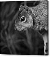 Downward Facing Squirrel Canvas Print
