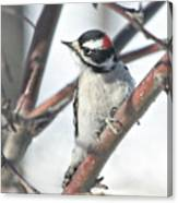 Downy Woodpecker In An Apple Tree Canvas Print
