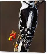 Downy Woodpecker On Tree Branch Canvas Print
