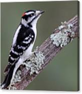 Perching Downy Woodpecker Canvas Print