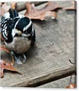 Downy Wooodpecker Picoides Pubscens Canvas Print