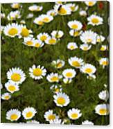 Dozens Of Daisies Canvas Print