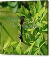 Dragonfly 1 Canvas Print