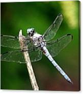 Dragonfly 12 Canvas Print