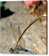 Dragonfly Black-tailed Skimmer Canvas Print
