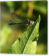 Dragonfly Called Funny Face Canvas Print