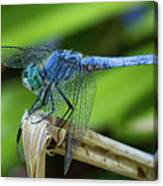 Dragonfly Color Canvas Print