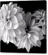 Dramatic Dahlias Canvas Print