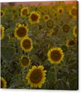 Dreaming In Sunflowers Canvas Print