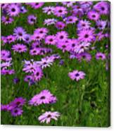 Dreaming Of Purple Daisies  Canvas Print