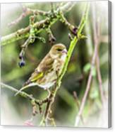 Dreamy Greenfinch. Canvas Print