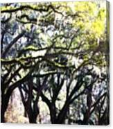 Dreamy Live Oaks Canvas Print