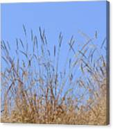Dried Grass Blue Sky Canvas Print
