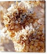Dried Hydrangea Flowers  Canvas Print