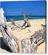 Driftwood Buck Island National Park Canvas Print