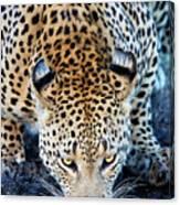 Drinking Leopard Canvas Print