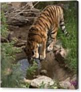 Drinking Tiger Canvas Print