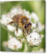 Drinking Up The Nectar, Apis Mellifera Canvas Print