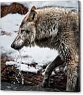 Drinking Wolf Canvas Print